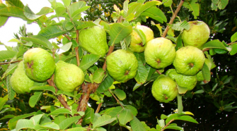 image of guava