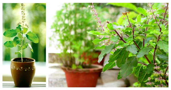 image of Tulsi