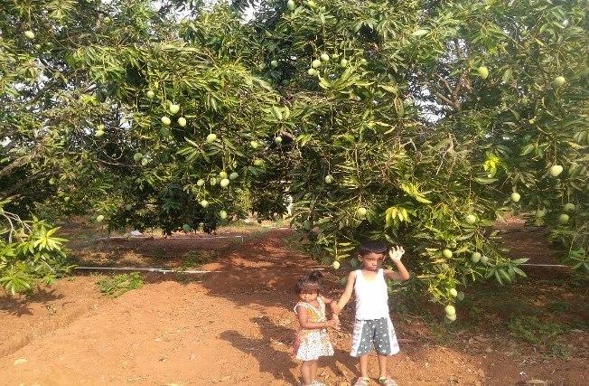 mango tree in village